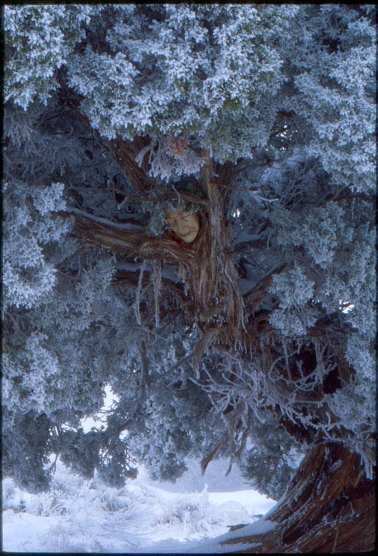 Ancient Cedar // Utah