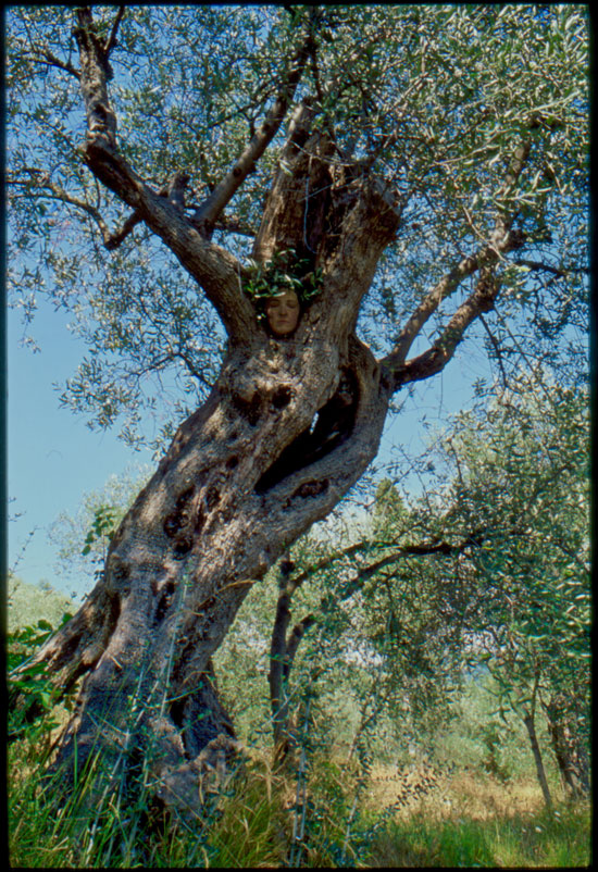 Ancient Olive Tree // Greece