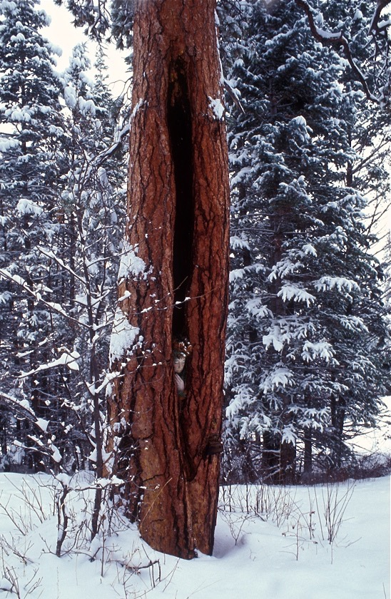 Ponderosa Pine // Colorado